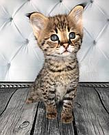 Котёнок Саванна Ф1, (boy with tassels) родился 10/01/19 в питомнике Royal Cats, фото 1