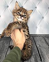 Котёнок Саванна Ф1, (dark nose) родился 10/01/19 в питомнике Royal Cats, фото 1