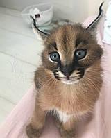 Котёнок Каракал, девочка родилась 20/01/19 в питомнике Royal Cats
