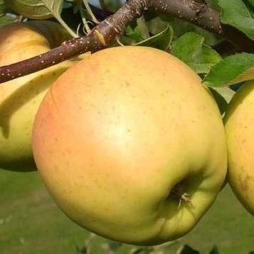 Яблоня Сириус(з)
