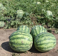 Семена арбуза Крисби F1 (1000 с), фото 1