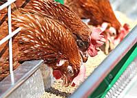 Кормление и менеджмент птицы в целях оптимальной производительности
