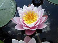 Нимфеи, кувшинки, лилии водяные (розовая)