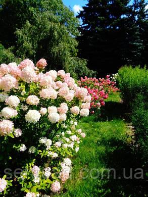 Гортензия метельчатая Саммер Лав \ Hydrangea paniculata Summer love ( саженцы 3 года) Новинка, фото 2
