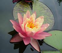 Нимфеи, кувшинки, лилии водяные (персиковая)