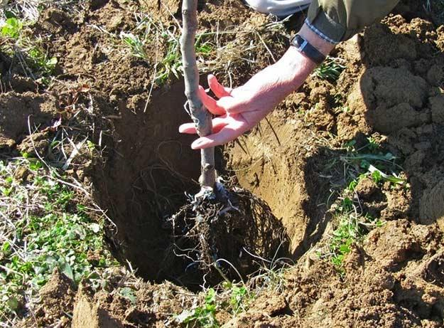 посадки саженцев сортовой яблони