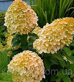Гортензия метельчатая Коттон Крим \ Hydrangea paniculata Cotton Cream ( саженцы 3 года) Новинка