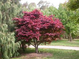 Клен пальмолистний / японський Atropurpureum 80-120см, Клен веерный/пальмолистный Атропурпуреум, Acer palmatum, фото 2