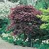 Клен пальмолистний / японський Atropurpureum 80-120см, Клен веерный/пальмолистный Атропурпуреум, Acer palmatum, фото 3