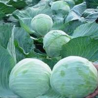 Семена капусты Новатор F1 (2500с) поздняя, фото 1