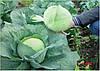 Семена капусты Агрессор F1 (2500c)средне-поздняя
