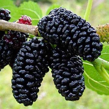 Шовковиця чорна 2 річна, Шелковица черная, Morus nigra, фото 2