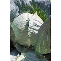 Семена капусты Структа F1(2500с) средне-поздняя, фото 1