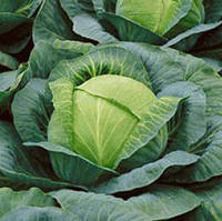 Семена капусты Ринда F1(2500c) средняя