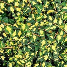Плющ звичайний Goldheart 2 річний, Плющ обыкновенный Голдхарт, Hedera helix Goldheart, фото 2