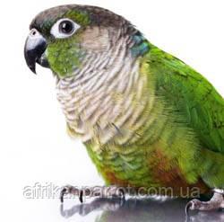 Коричневоухий пиррура или буроухий попугай Pyrrhura frontalis