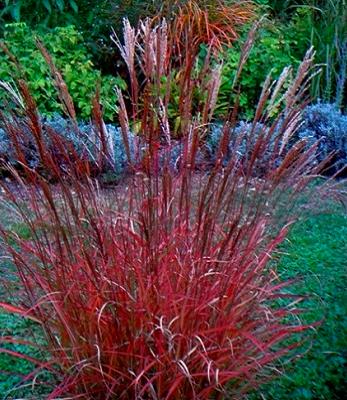 Міскантус китайський Purple Fall1 рік, Мискантус китайский Парпл Фел, Miscanthus sinensis Purple Fall