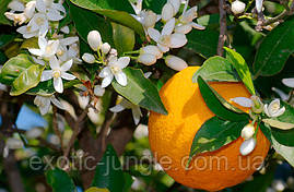 Апельсин Вашингтон Нэвил (Citrus sinensis 'Washington navel) 60-65 см. Комнатный