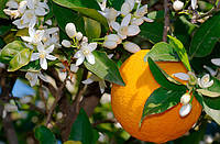 Апельсин Вашингтон Нэвил (Citrus sinensis 'Washington navel) 80-85 см. Комнатный