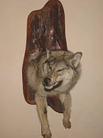 Чучело волка голова