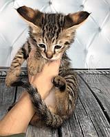 Котёнок Чаузи Ф1 (white collar) родился 03.01.19 в питомнике Royal Cats, фото 1