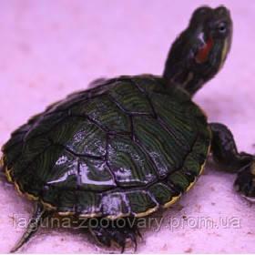 Черепаха красноухая 7см