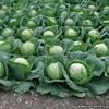 Семена капусты Лема F1 калибр.(2500c) ранняя