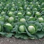 Семена капусты Лема F1 калибр.(1000c) ранняя