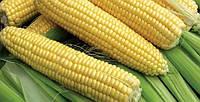 Семена кукурузы Бостон F1(100000 семян) сладкая, фото 1