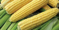 Семена кукурузы Добрыня F1 (2500с) супер сладкая
