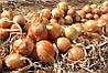 Семена лука Эксхибишн (250 000с)поздний