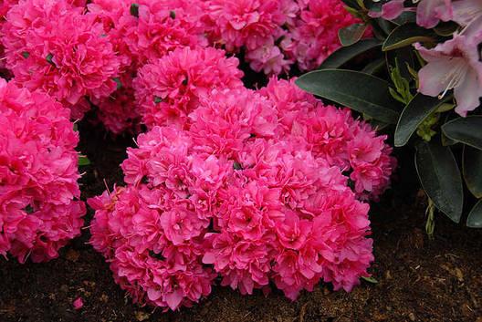 Азалія японська Petticoat 3 річна, Азалия японская /рододендрон Петтикоат, Azalea japonica Petticoat, фото 2
