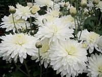 Хризантема черенок корейская белая РАННЯЯ, фото 1