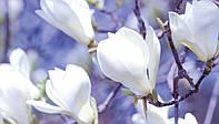 Фотообои готовые Магнолии на синем фоне  размер 368 х 254 см