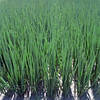 Семена лука Параде F1(50 000c) на перо