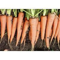Семена моркови Скарла (500г) тип Флакке (25 см)