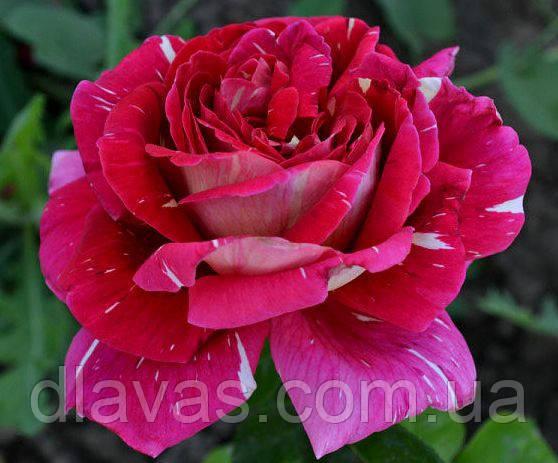 Саженцы роз Пестрая Фантазия (Pestraja Fantazija)