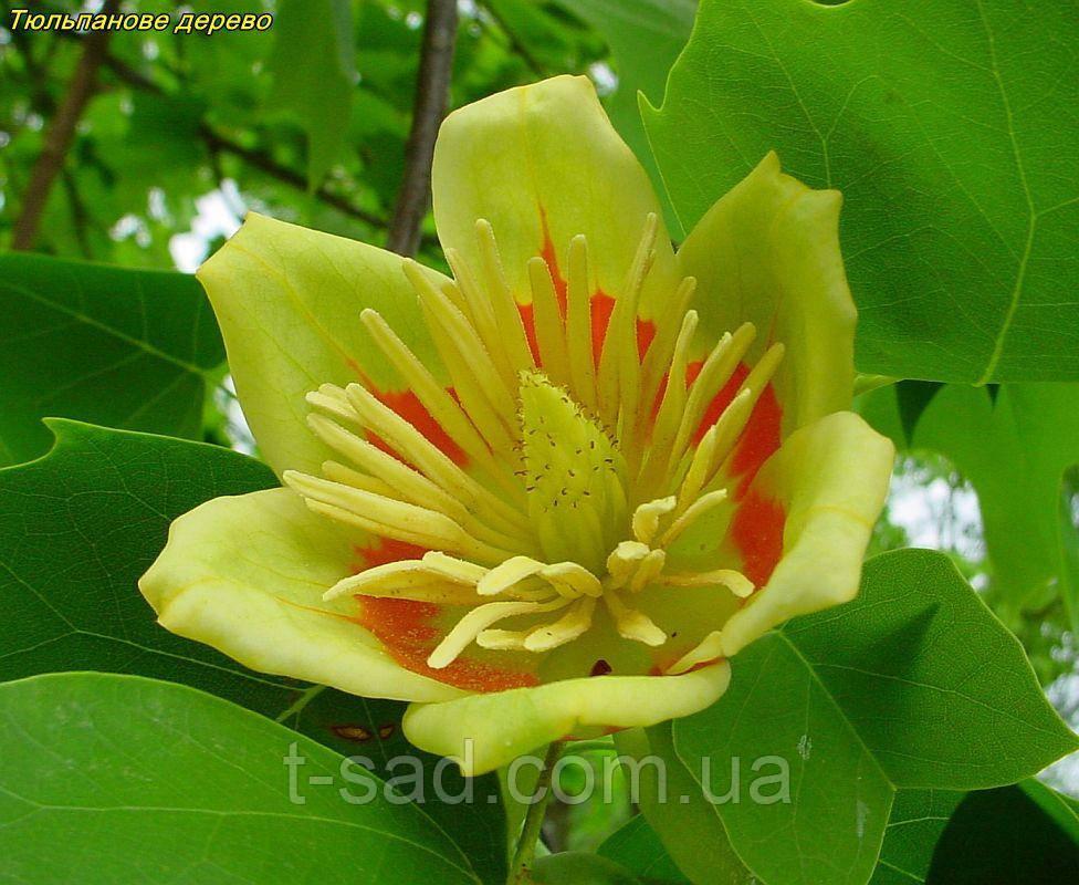 Тюльпановое дерево 3г