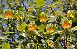 Тюльпановое дерево 3г, фото 4