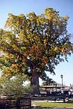 Тюльпановое дерево 3г, фото 7