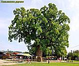 Тюльпановое дерево 3г, фото 9