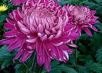 Хризантема крупноцветковая  Хорнибил Дарк (Hornbil Dark)