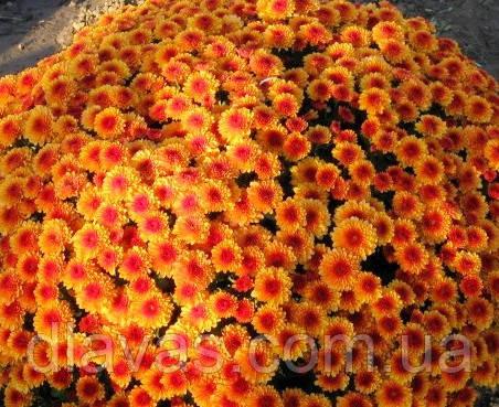 Хризантема Бореаль оранжевая