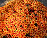 Хризантема Бореаль оранжевая, фото 1