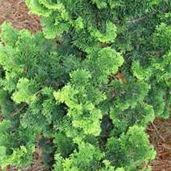 Кипарисовик тупий Contorta 4 річний, Кипарисовик тупой Конторта, Chamaecyparis obtusa Contorta, фото 2