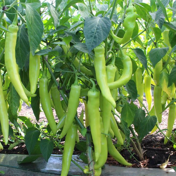 Семена горького перца КС 65 F1, Kitano 1 000 семян | профессиональные