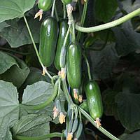 Семена огурца КС 575 F1, Kitano 100 семян | профессиональные