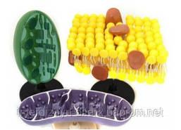 Органоїди клітини (набір)