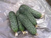 Семена огурца Криспина F1(1000c) партенокарпик ранний, фото 1