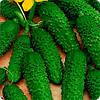 Семена огурца Пасалимо F1(500c) партенокарпик ранний